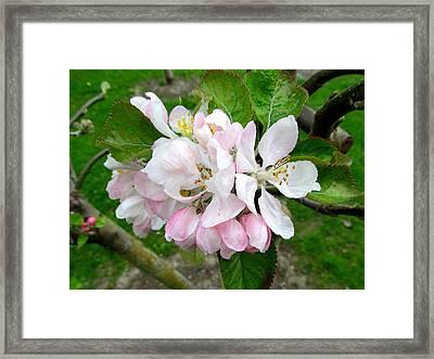Apple Blossom Framed Print by Joyce Woodhouse