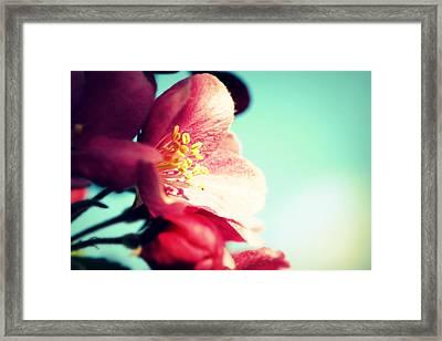 Apple Blossom Framed Print by Lisa Knechtel