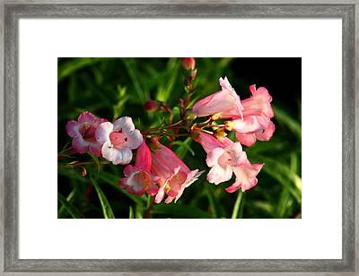 Apple Blossom Penstemon Framed Print