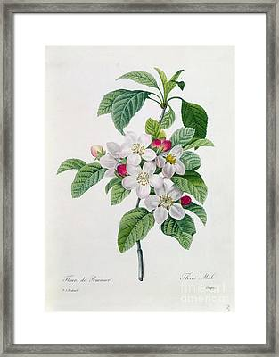 Apple Blossom Framed Print by Pierre Joseph Redoute