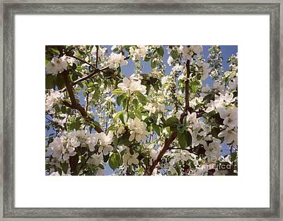 Apple Blossom Framed Print by Sonya Chalmers