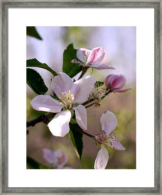 Framed Print featuring the photograph Apple Blossom Time by Diane Merkle