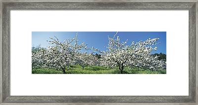 Apple Blossom Trees Norway Framed Print