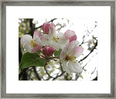 Framed Print featuring the photograph Apple Blossoms - Wild Apple by Angie Rea