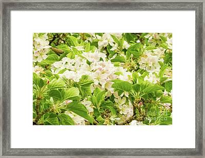 Apple Blossoms 5 Framed Print