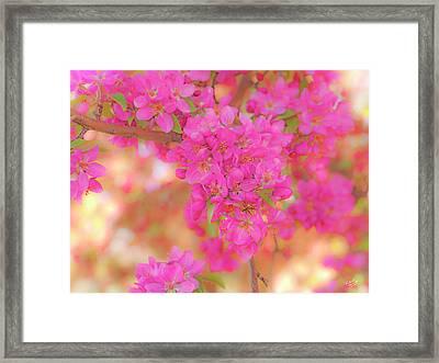 Apple Blossoms A Framed Print