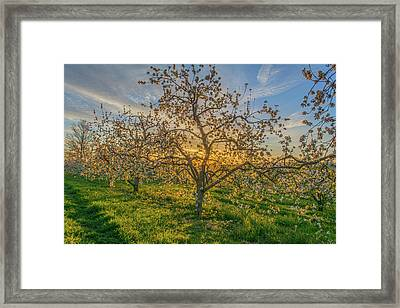Apple Blossoms At Sunrise 2 Framed Print