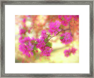Apple Blossoms B Framed Print