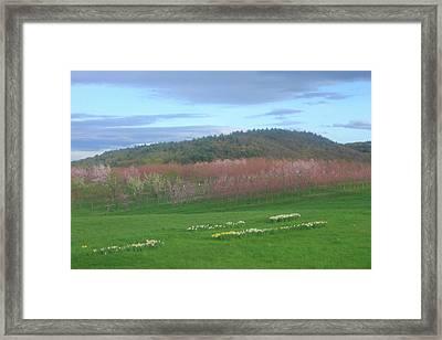Apple Blossoms In Spring Framed Print by John Burk