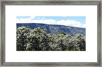 Apple Blossoms Framed Print by Will Borden