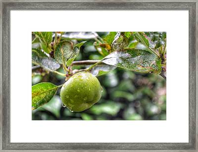 Apple In Rain Framed Print by Isabella F Abbie Shores FRSA