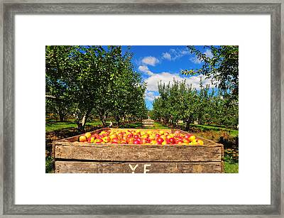Apple Picking Season Framed Print by Catherine Reusch Daley