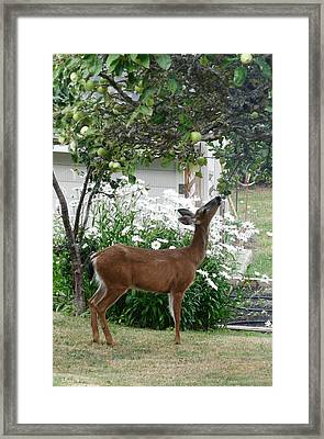 Apple Thief Framed Print