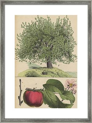 Apple Tree And Fruit Framed Print