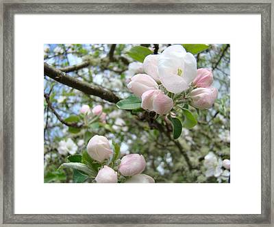 Apple Tree Blossoms Art Prints Apple Blossom Buds Baslee Troutman Framed Print by Baslee Troutman