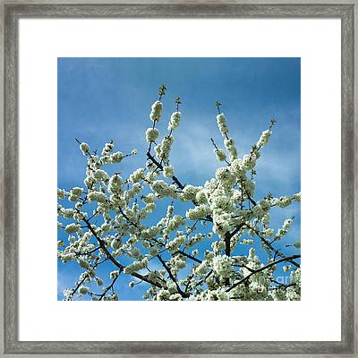 Apple Tree In Blossom Framed Print
