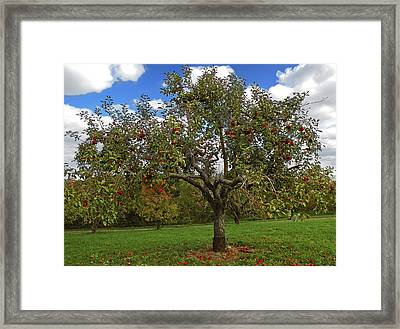 Apple Tree Framed Print by Steven Michael