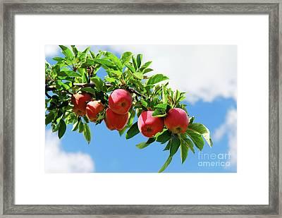 Apples On A Branch Framed Print