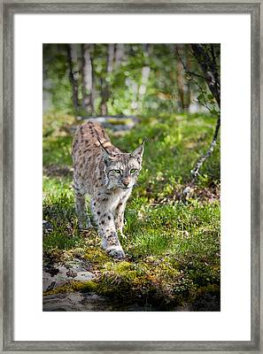 Approaching Lynx Framed Print