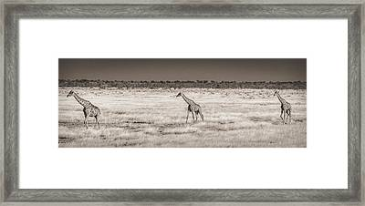 Approaching The Waterhole - Black And White Giraffe Photograph Framed Print by Duane Miller