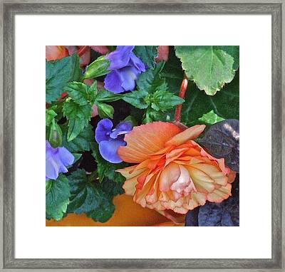 Apricot Begonia 1 Framed Print