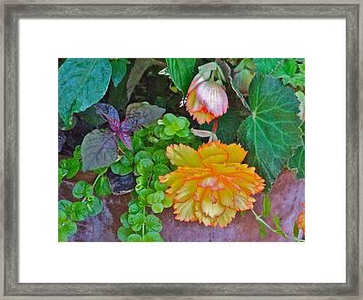 Apricot Begonia 3 Framed Print