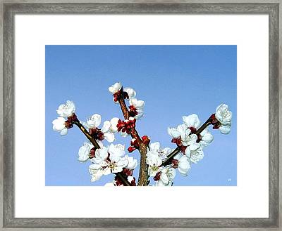 Apricot Blossoms Framed Print by Will Borden