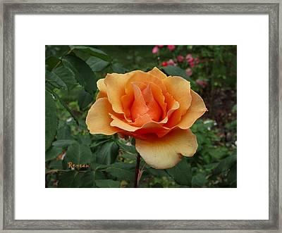 Apricot Rose Framed Print by Sadie Reneau