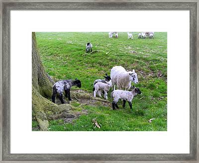April Lambs Framed Print
