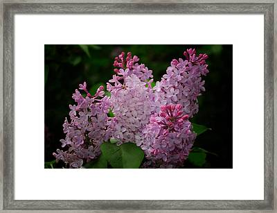 April Lilacs Framed Print