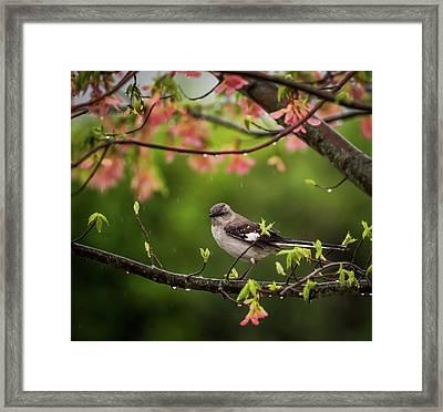 April Showers Bring May Flowers Mocking Bird Framed Print