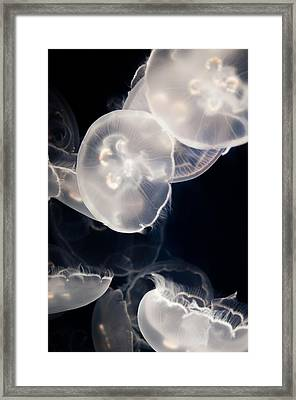 Aquarium Of The Pacific Jumping Jellies Framed Print