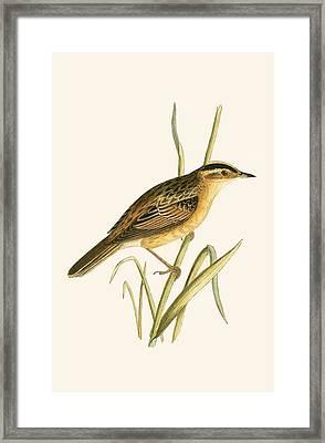 Aquatic Warbler Framed Print by English School