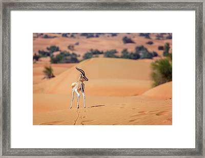Framed Print featuring the photograph Arabian Gazelle by Alexey Stiop