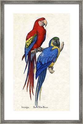 Aracangua And Blue And Yellow Macaw Framed Print