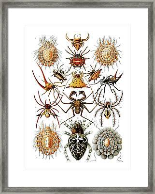 Arachnida Spiders Framed Print by Ernst Haeckel