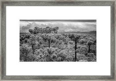 Araucaria Angustifolia-campos Do Jordao-sp Framed Print