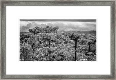 Araucaria Angustifolia-campos Do Jordao-sp Framed Print