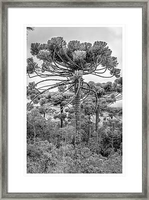 Araucaria Angustifolia-curi-campos Do Jordao-sp Framed Print
