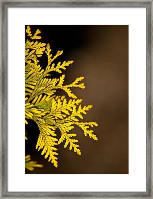 Arbovitae 1 Framed Print