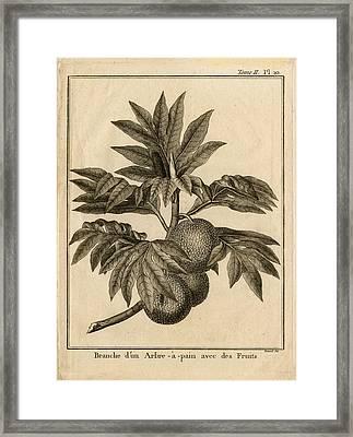 Arbre Apain Breadfruit Branch Framed Print