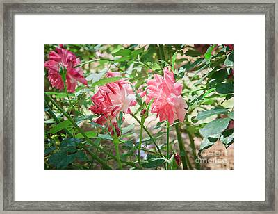 Archduke Charles Bengale Rose Framed Print by Jamie Gray