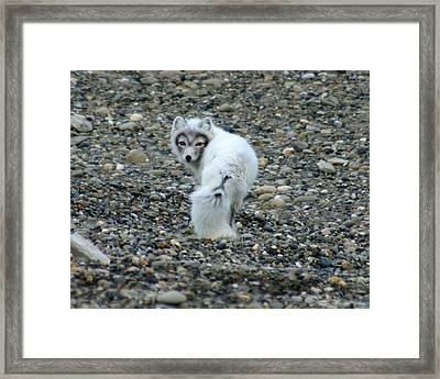 Arctic Fox Framed Print