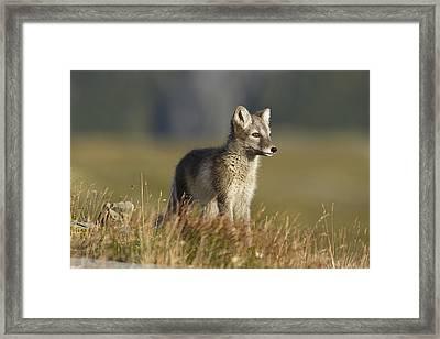 Arctic Fox Puppie Framed Print