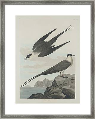 Arctic Jager Framed Print by Rob Dreyer