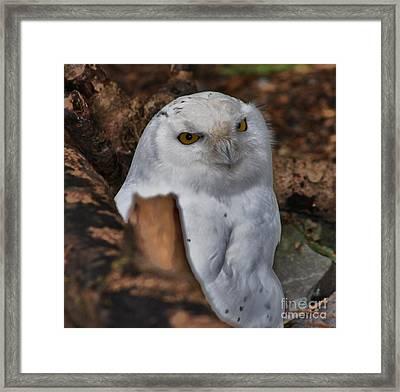 Arctic Snow Owl Framed Print
