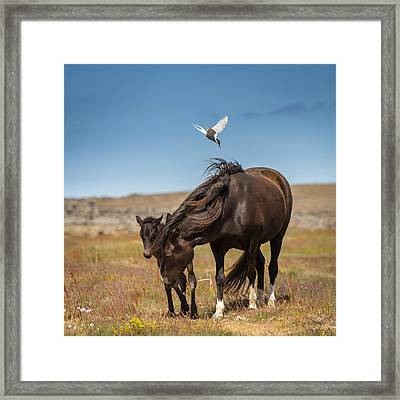 Arctic Tern Attacking Mare Framed Print by Panoramic Images