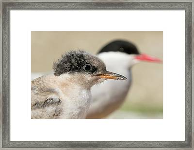 Arctic Tern Chick With Parent - Scotland Framed Print