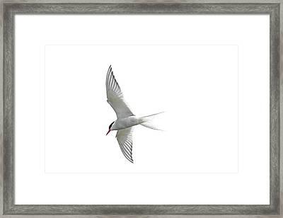 Arctic Tern Flying In Mist Framed Print
