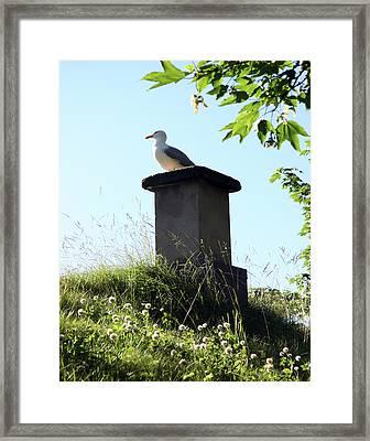 Arctic Tern Framed Print by Helene Sobol